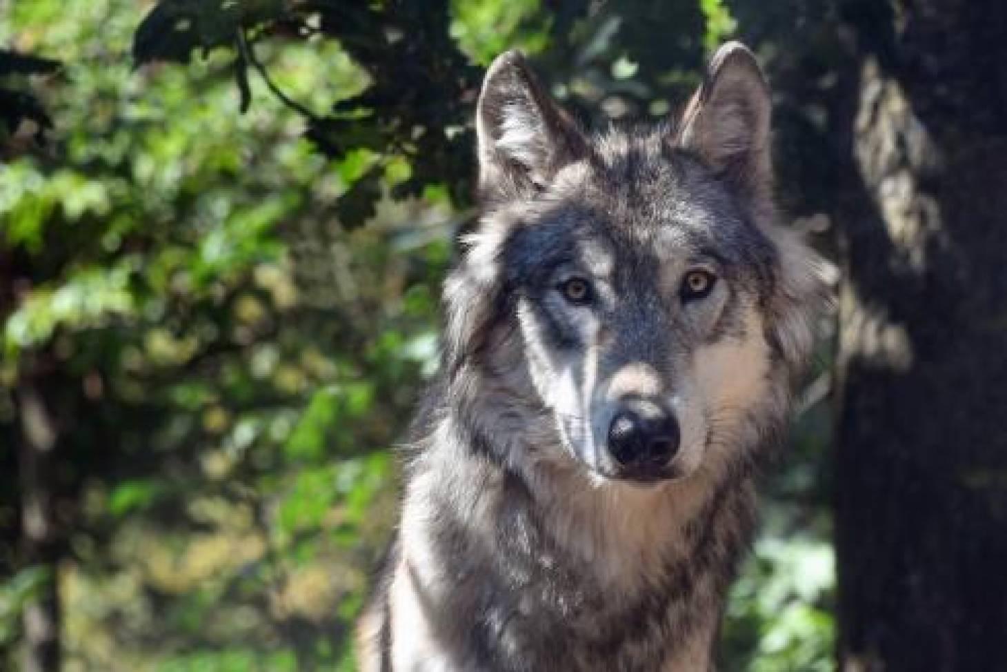 Inutile decrier au loup