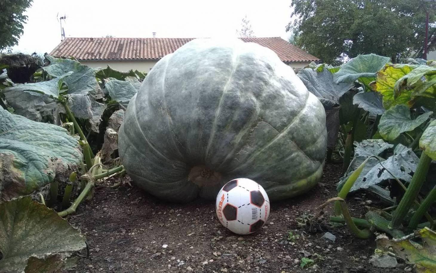 Le jardinier et les cucurbitacées géantes