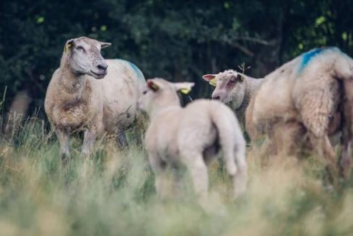 Pascal, l'agneau qui cache le troupeau