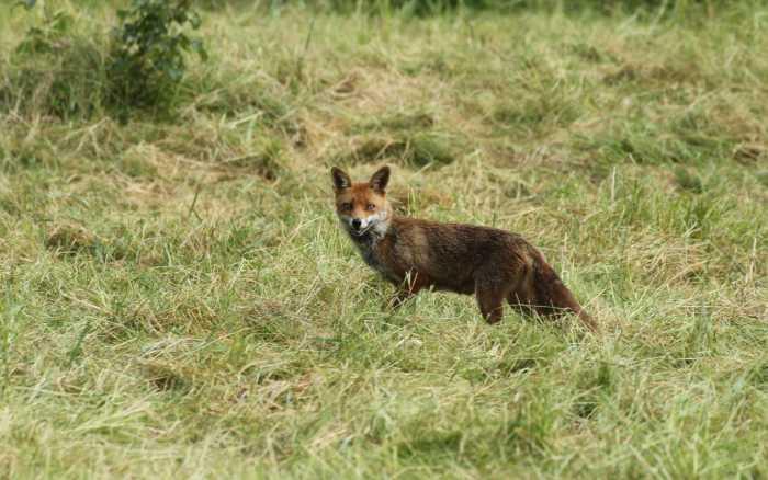 Le renard, aimé et chassé