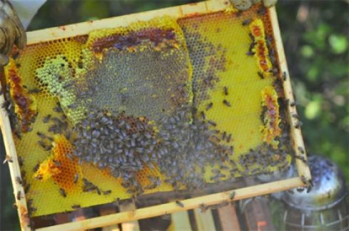 La propolis au secours de la filière apicole