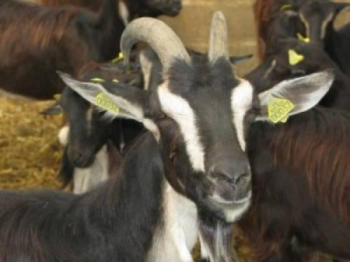 La chèvre poitevine fait son retour
